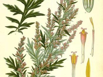 Artemisia vulgaris