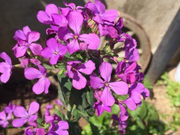 fiori di lunaria annua