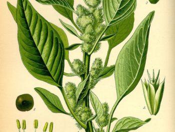 amaranto scheda botanica