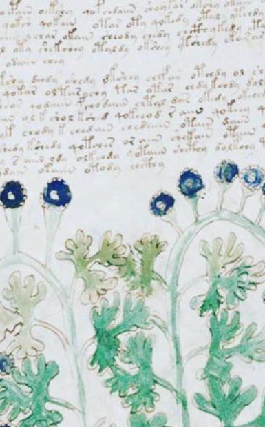 manoscritto Voynich: Solanum nigrum